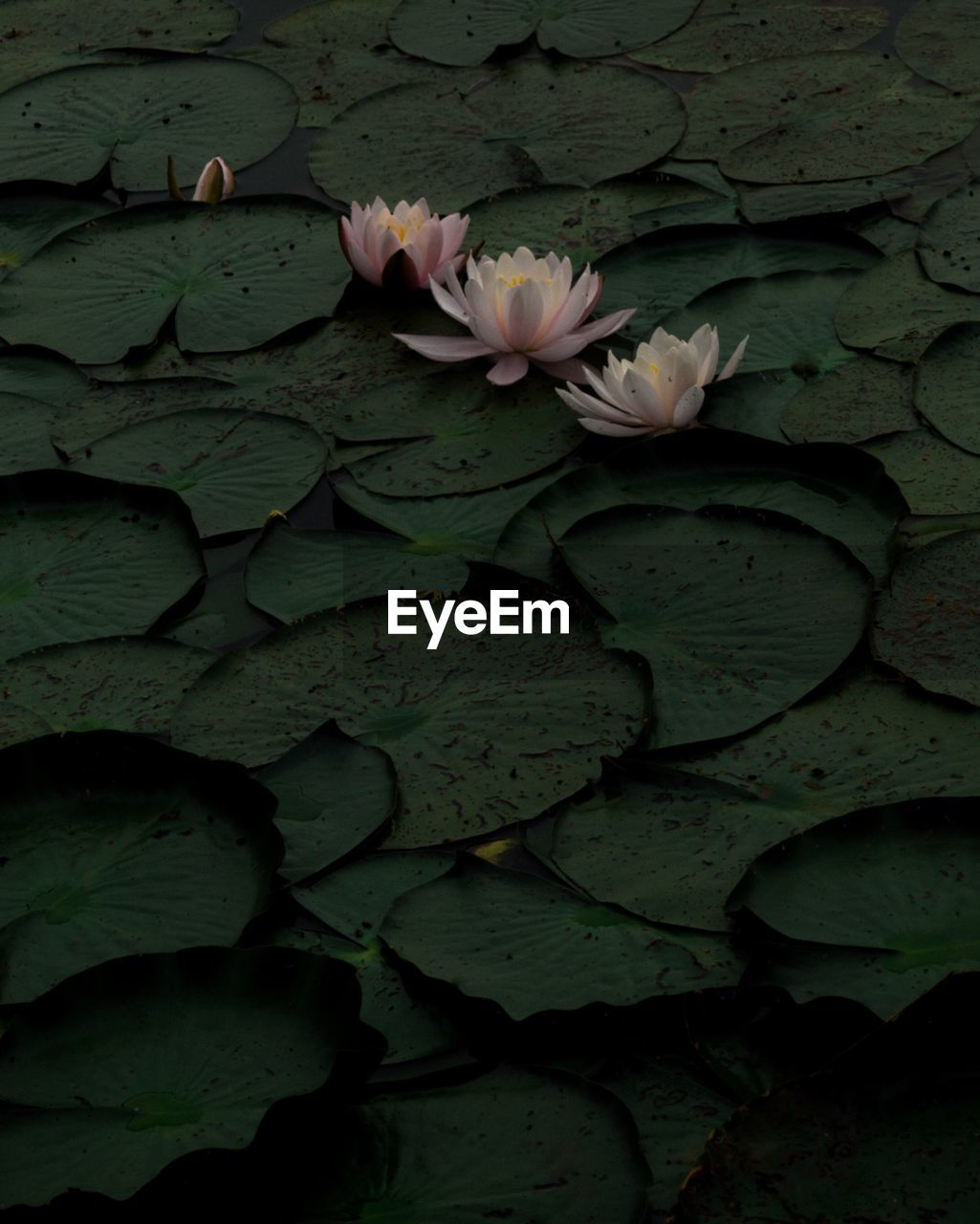 CLOSE-UP OF LOTUS WATER LILY BLOOMING IN LAKE
