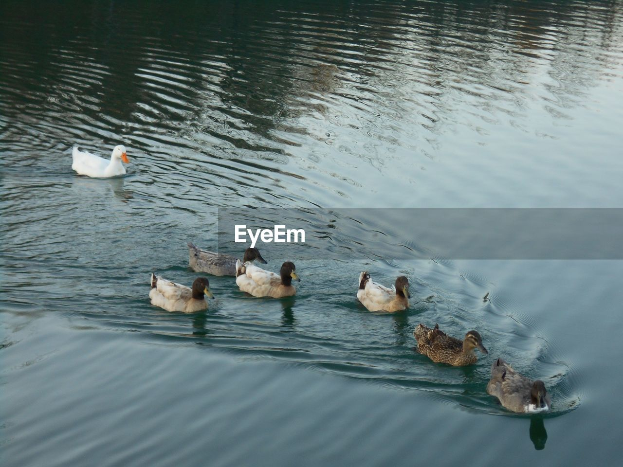 group of animals, bird, animal themes, water, animals in the wild, animal wildlife, swimming, animal, lake, vertebrate, waterfront, high angle view, medium group of animals, no people, nature, day, young animal, water bird, young bird, duck, animal family, outdoors, floating on water, cygnet, flock of birds, gosling