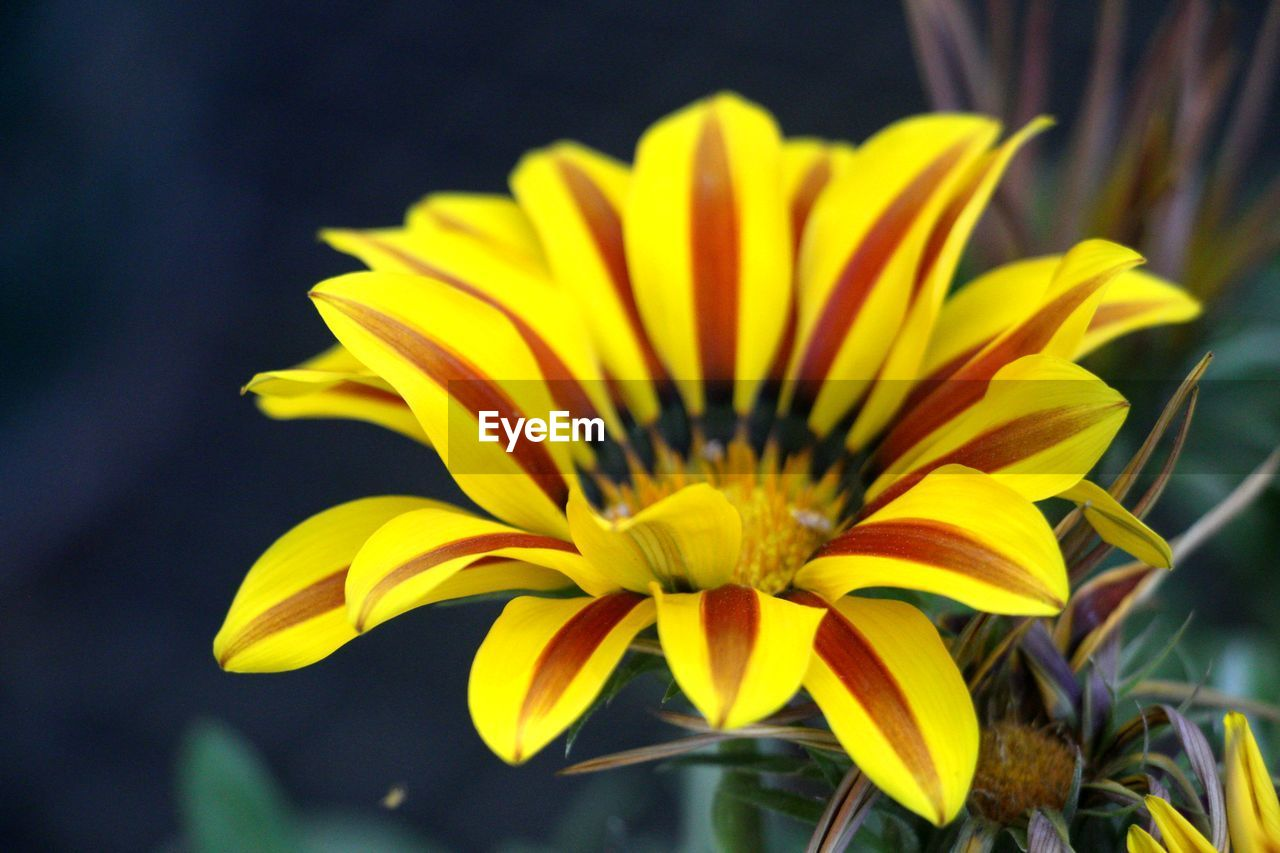 flower, yellow, petal, flower head, fragility, beauty in nature, freshness, nature, gazania, growth, close-up, day, outdoors, no people, blooming