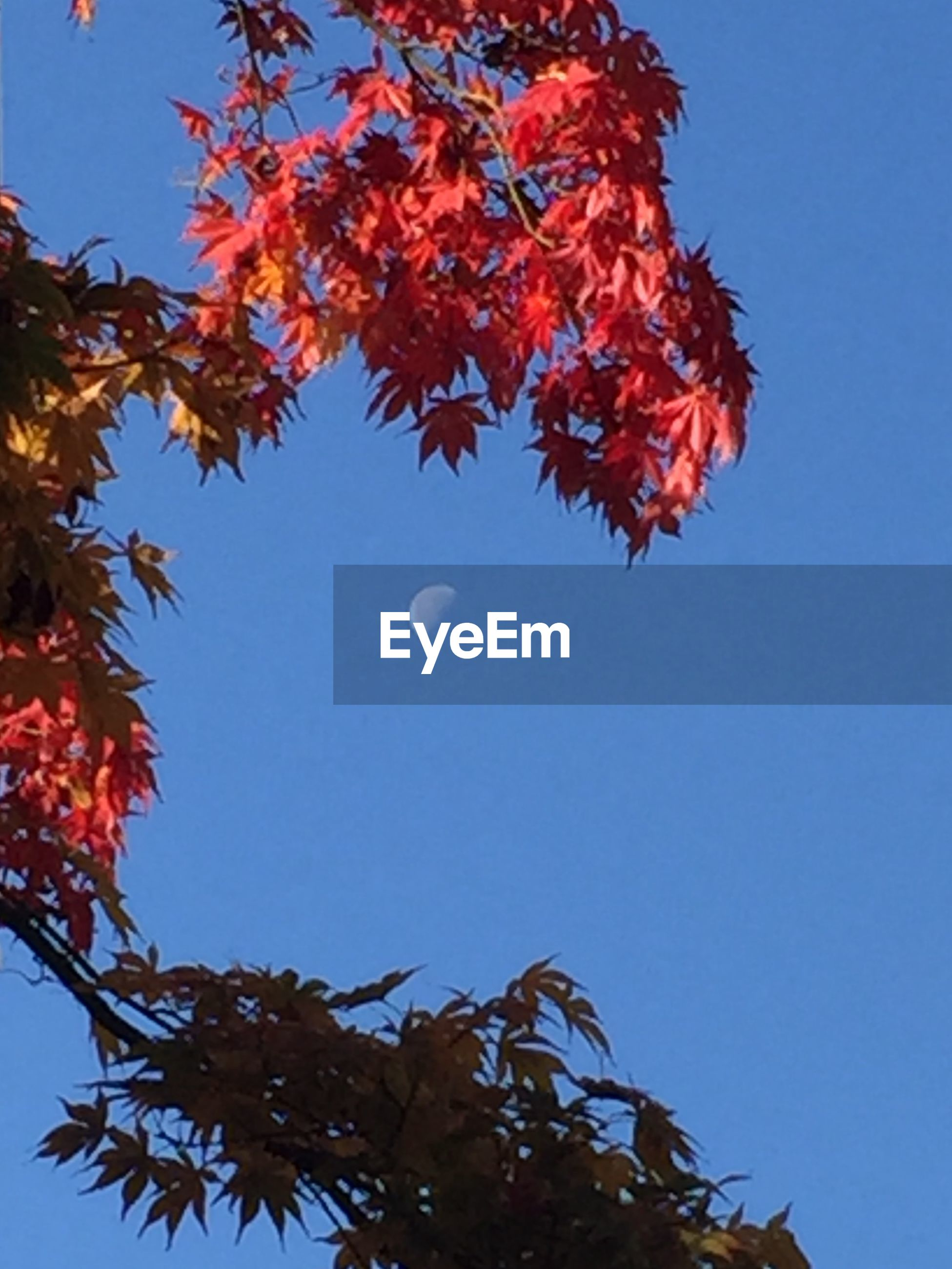 low angle view, clear sky, tree, branch, blue, growth, beauty in nature, nature, red, leaf, copy space, sky, high section, tranquility, autumn, day, change, outdoors, treetop, no people