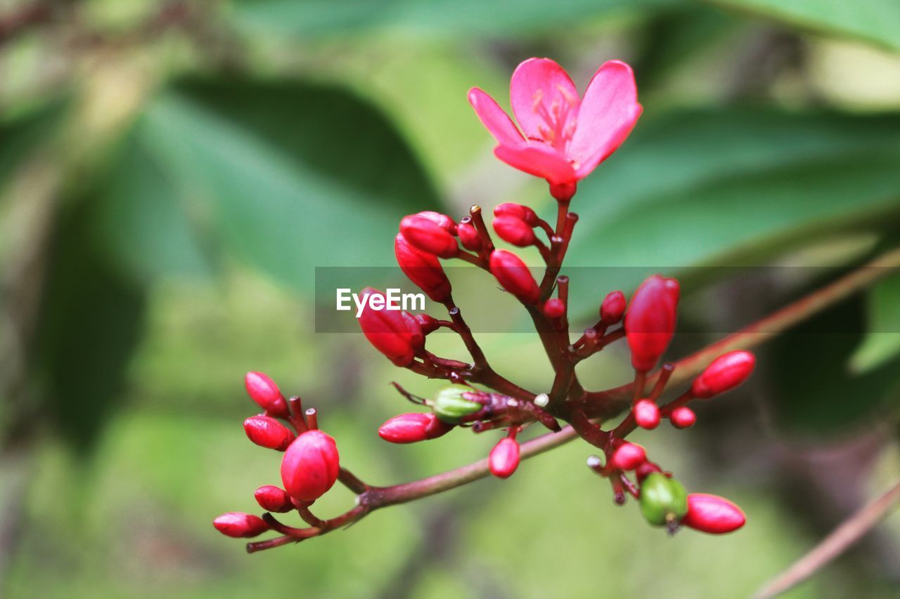 plant, flower, beauty in nature, flowering plant, growth, pink color, close-up, vulnerability, freshness, fragility, nature, petal, focus on foreground, bud, day, no people, selective focus, inflorescence, flower head, red, outdoors