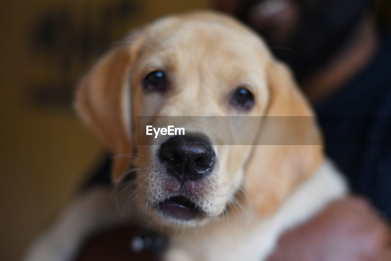 dog, canine, one animal, pets, domestic animals, domestic, mammal, portrait, looking at camera, vertebrate, close-up, animal body part, focus on foreground, people, indoors, selective focus, pet owner, animal eye, animal nose