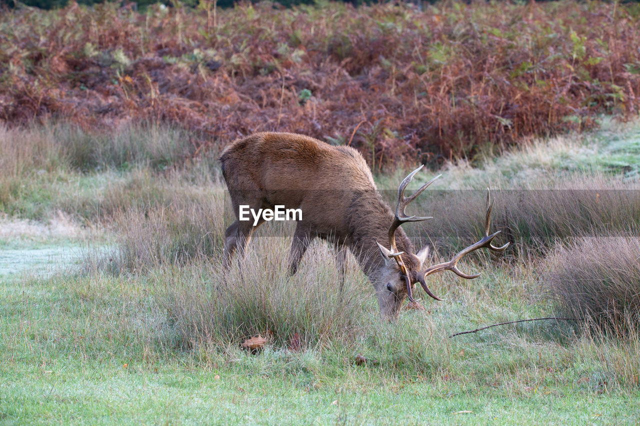 animal wildlife, animal, mammal, animal themes, animals in the wild, deer, grass, field, group of animals, land, plant, vertebrate, no people, nature, two animals, day, antler, conflict, horned, herbivorous, outdoors, aggression