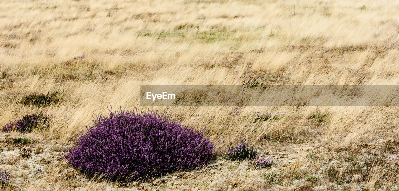 plant, flower, flowering plant, nature, land, beauty in nature, growth, field, no people, grass, purple, day, outdoors, tranquility, environment, freshness, fragility, vulnerability, close-up, landscape, semi-arid