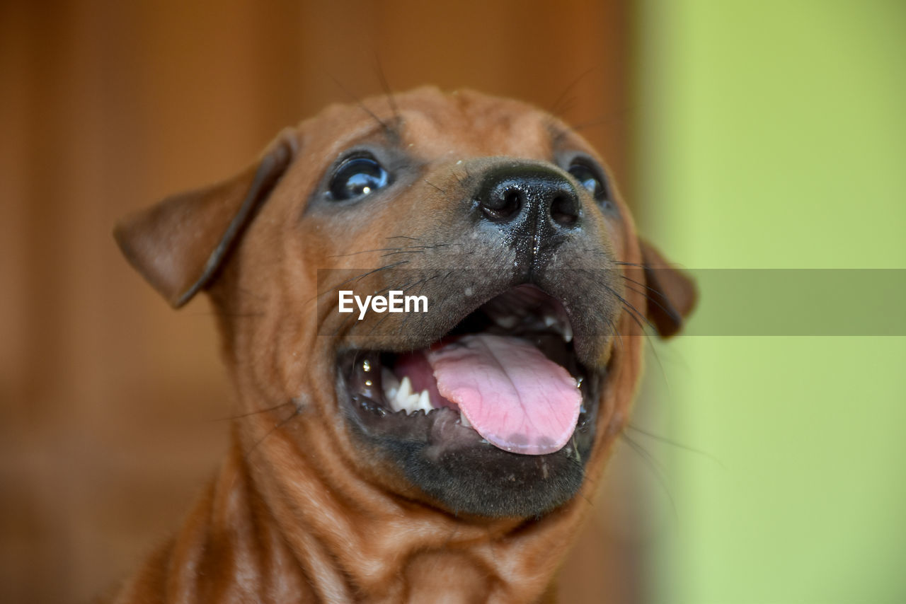 canine, dog, one animal, pets, domestic, domestic animals, animal, animal themes, mammal, vertebrate, animal body part, looking, no people, close-up, focus on foreground, indoors, animal head, looking away, brown, looking up, purebred dog, mouth open, animal eye, snout