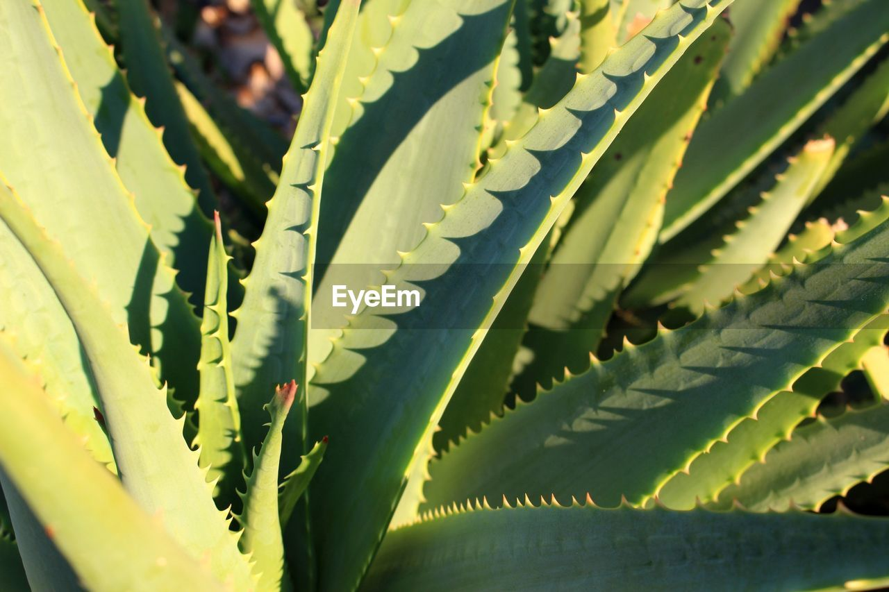 growth, leaf, plant part, plant, green color, close-up, no people, day, nature, beauty in nature, succulent plant, sunlight, natural pattern, full frame, outdoors, backgrounds, focus on foreground, selective focus, high angle view, aloe vera plant
