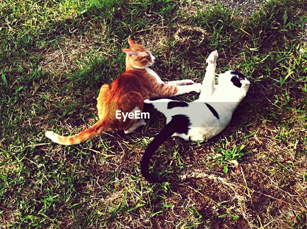 High Angle View Of Cats Relaxing On Field