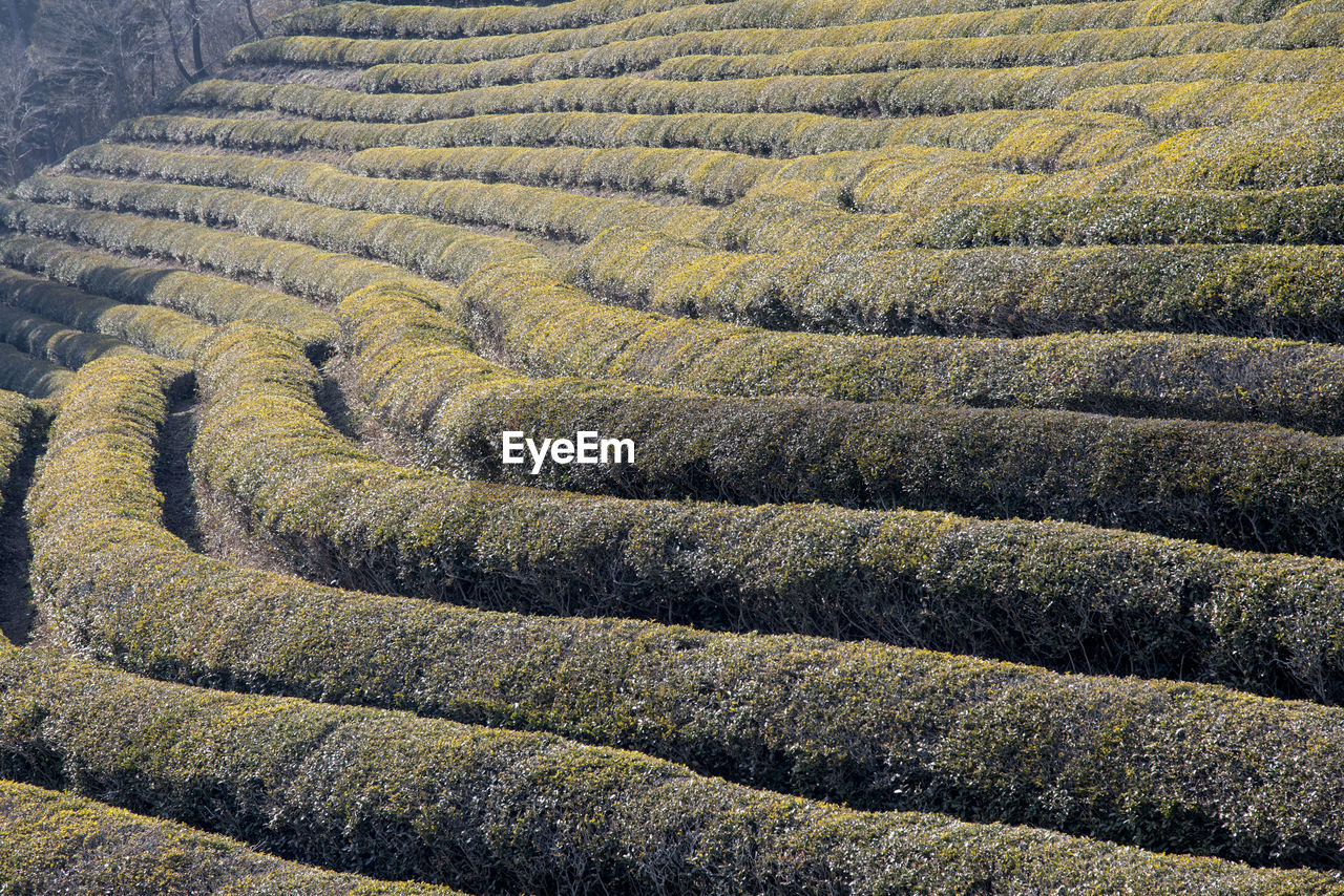 View of boseong green tea field on sunny day