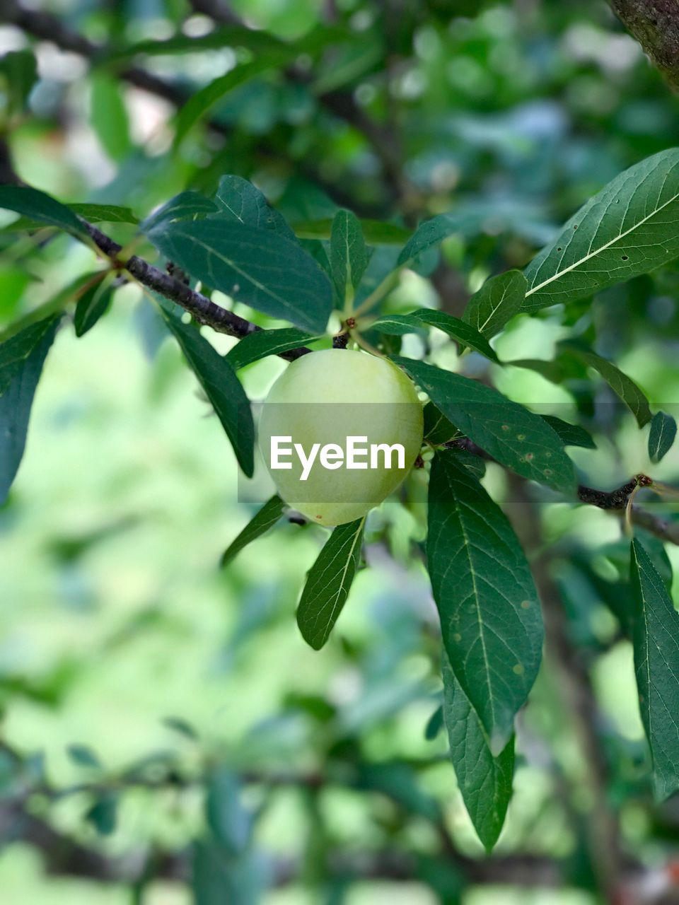 fruit, leaf, green color, food and drink, growth, food, tree, freshness, focus on foreground, nature, healthy eating, outdoors, day, branch, close-up, no people, beauty in nature