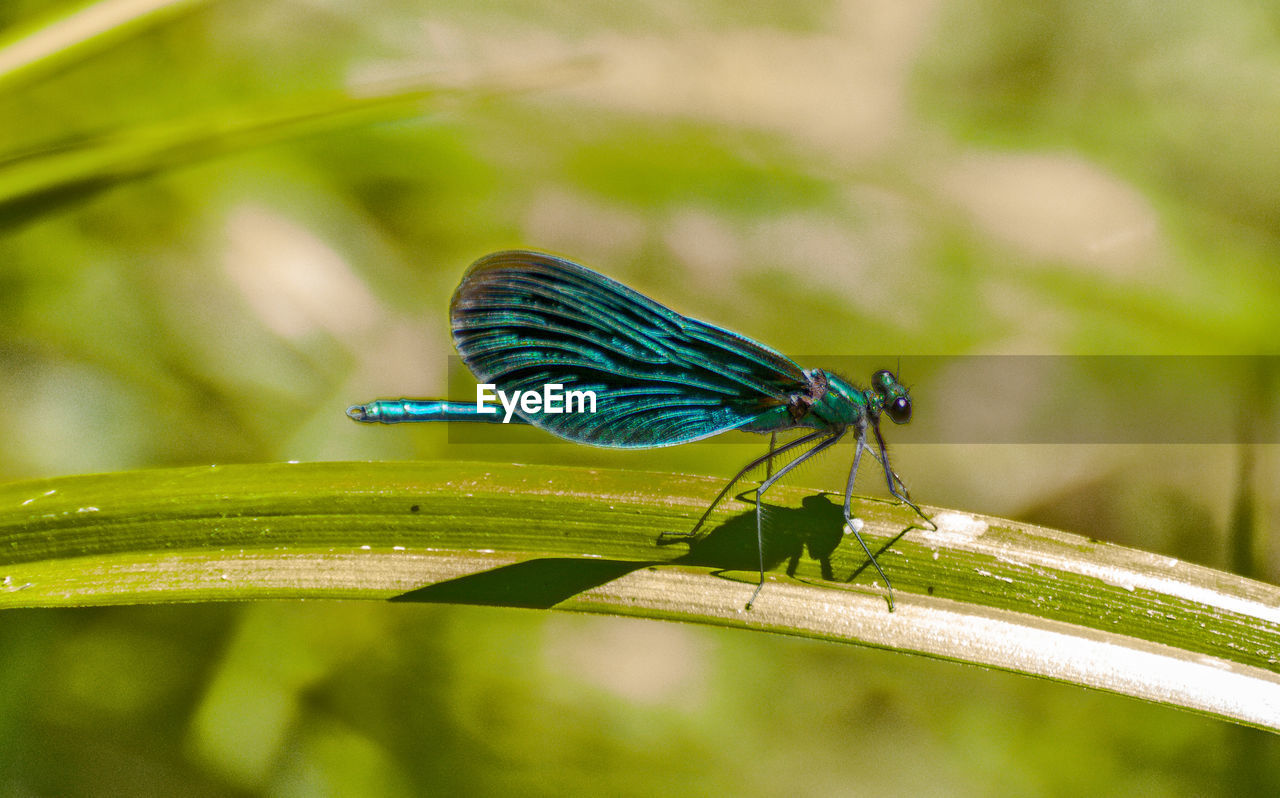 insect, animal themes, animal, animal wildlife, invertebrate, animals in the wild, one animal, green color, animal wing, plant part, leaf, close-up, damselfly, focus on foreground, plant, day, nature, blue, no people, outdoors, blade of grass