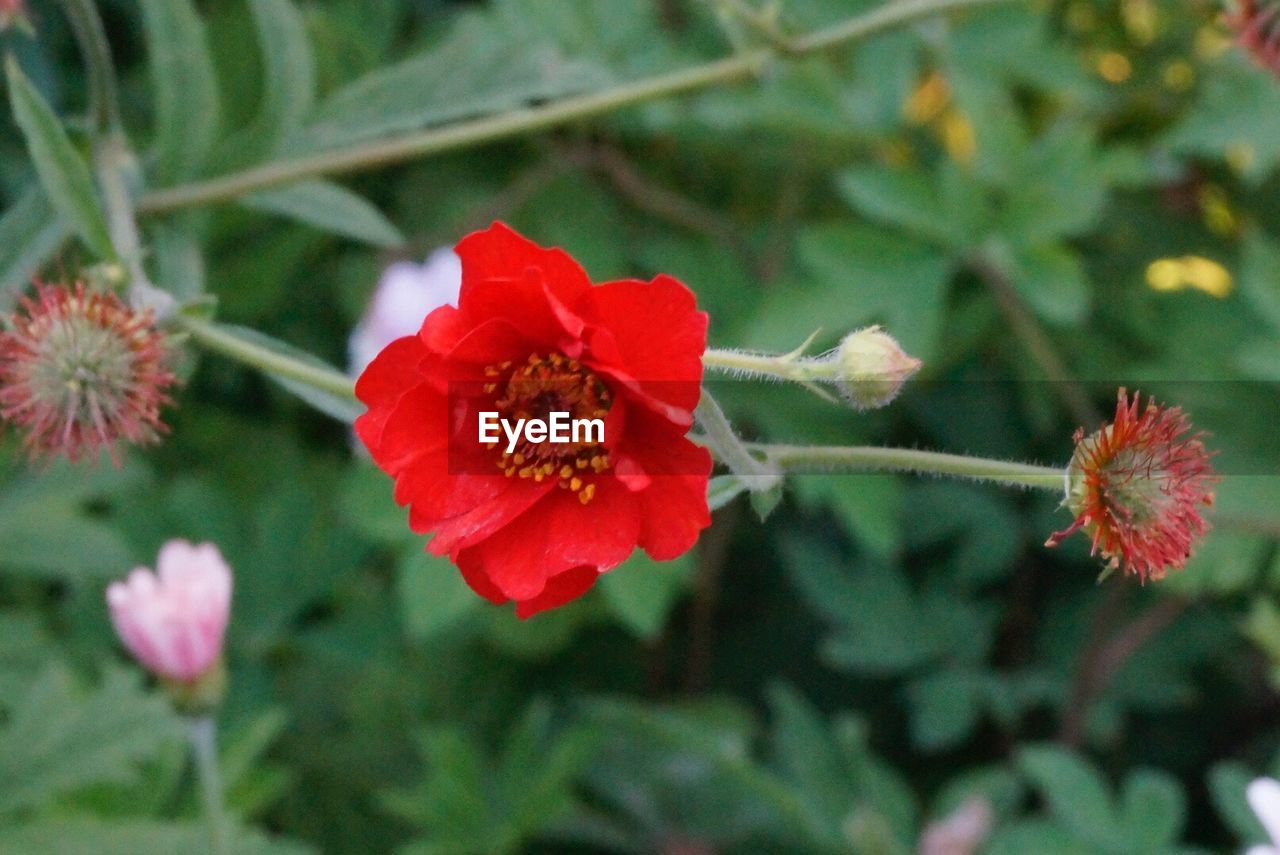 flower, petal, red, flower head, fragility, growth, nature, beauty in nature, plant, pollen, focus on foreground, no people, day, outdoors, freshness, blooming, close-up