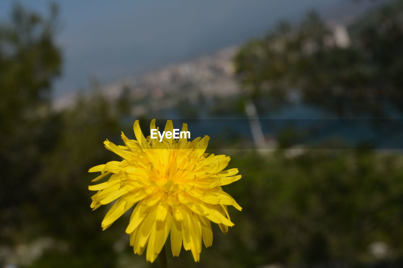yellow, flower, plant, flowering plant, beauty in nature, vulnerability, fragility, close-up, flower head, growth, inflorescence, focus on foreground, freshness, nature, petal, day, outdoors, no people, selective focus