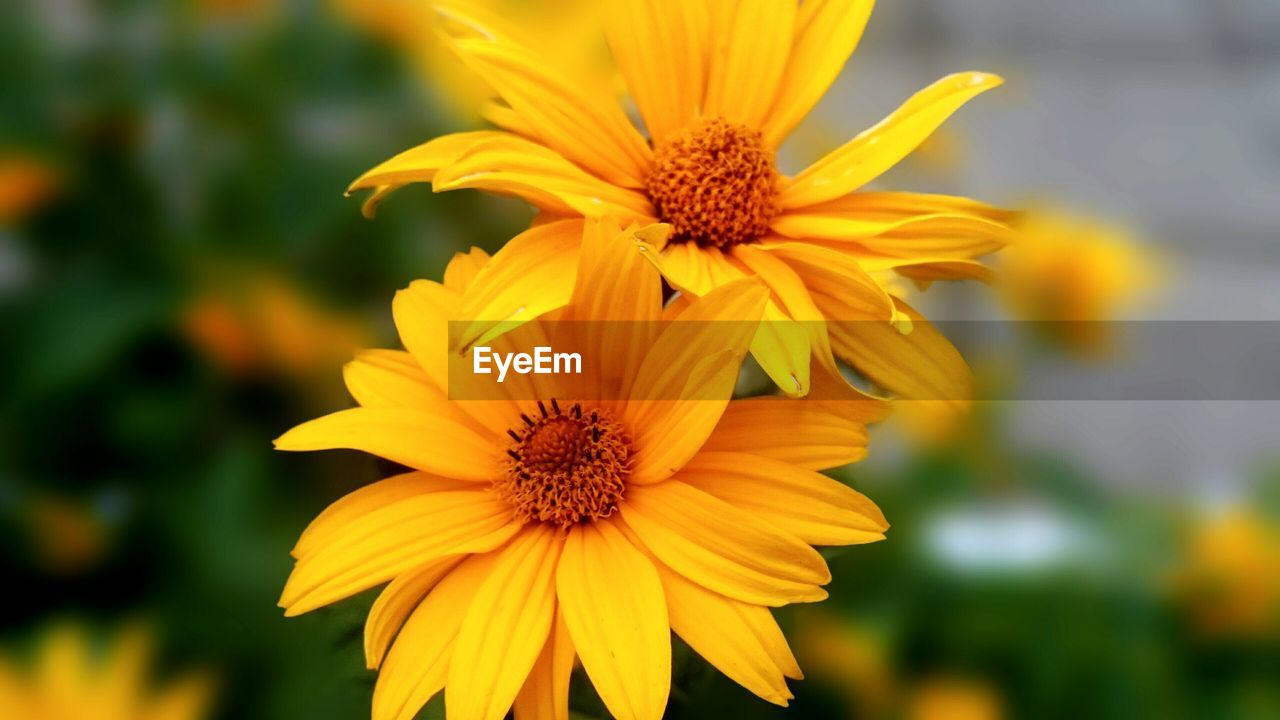 flower, petal, yellow, fragility, flower head, beauty in nature, nature, pollen, blooming, freshness, growth, focus on foreground, plant, black-eyed susan, day, outdoors, no people, close-up