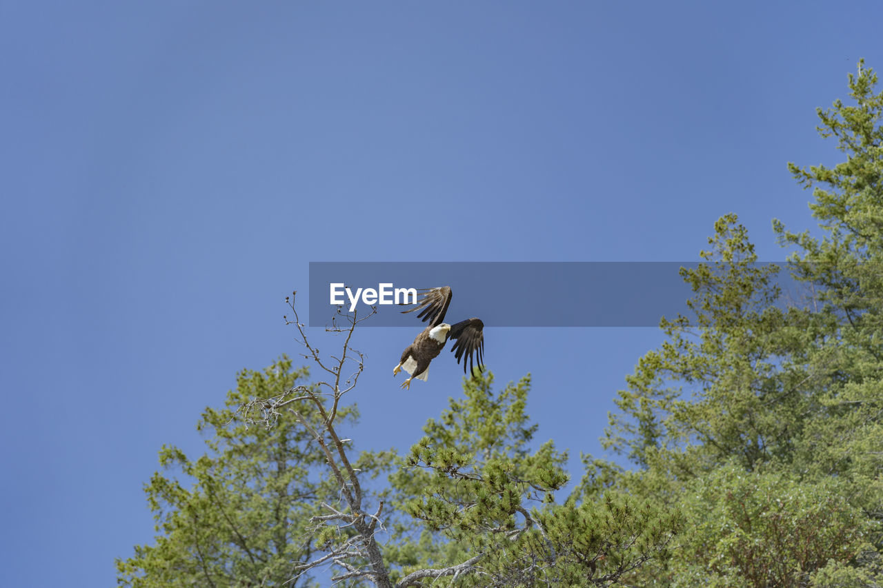 animal wildlife, animal, animals in the wild, bird, animal themes, vertebrate, sky, plant, low angle view, tree, one animal, clear sky, no people, flying, day, nature, copy space, blue, branch, beauty in nature, outdoors, eagle
