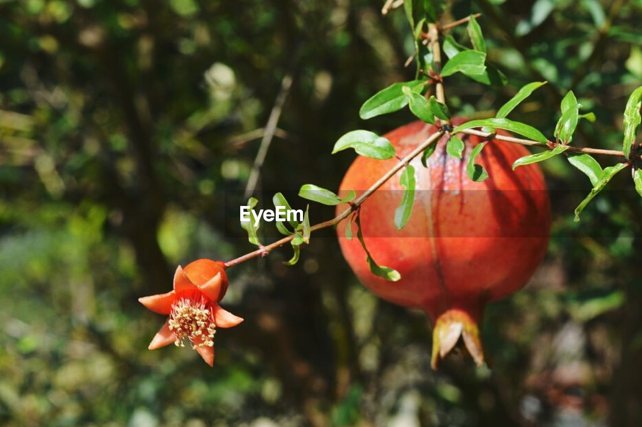 food and drink, growth, focus on foreground, orange color, outdoors, nature, leaf, red, freshness, day, fruit, no people, plant, close-up, food, tree, beauty in nature, healthy eating