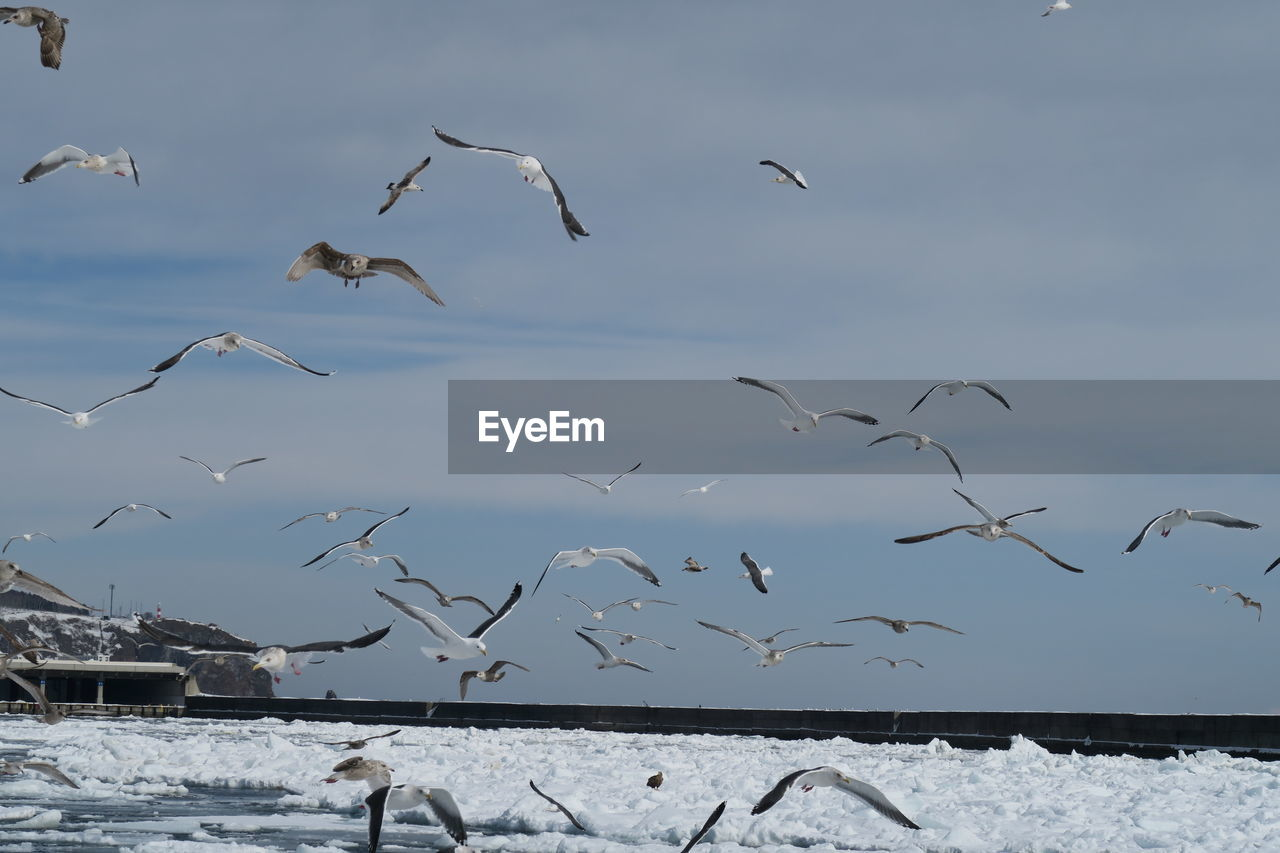 animal, animal themes, bird, vertebrate, animal wildlife, flying, animals in the wild, group of animals, large group of animals, mid-air, spread wings, sky, nature, flock of birds, beauty in nature, day, no people, water, seagull