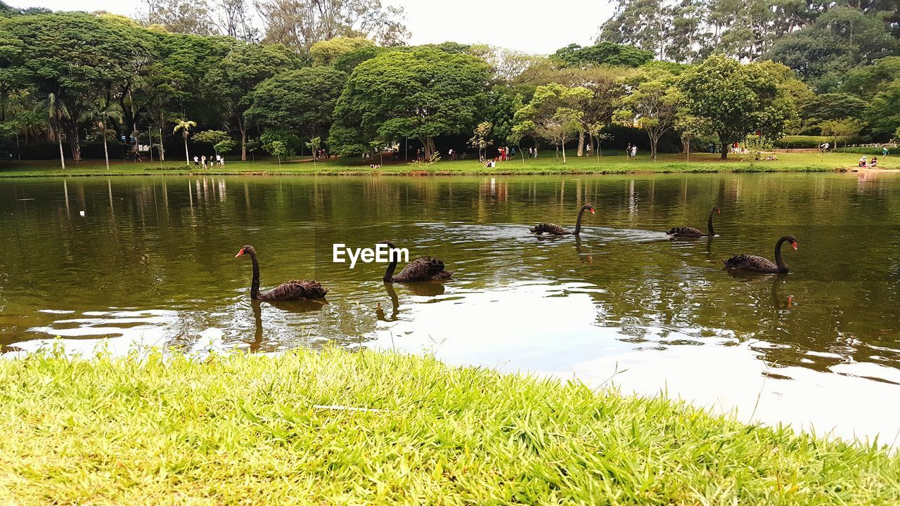 bird, lake, animals in the wild, plant, vertebrate, group of animals, animal wildlife, animal themes, animal, grass, water, swimming, nature, green color, day, reflection, poultry, duck, no people, animal family, floating on water