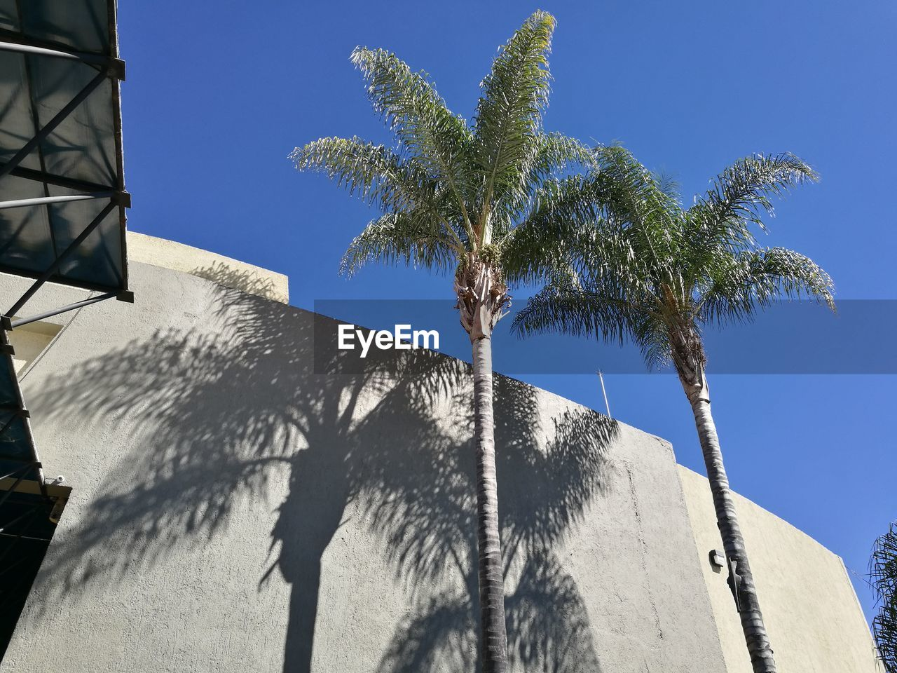 palm tree, tree, low angle view, clear sky, outdoors, day, built structure, building exterior, sunlight, architecture, no people, sky, blue, growth, shadow, nature, close-up