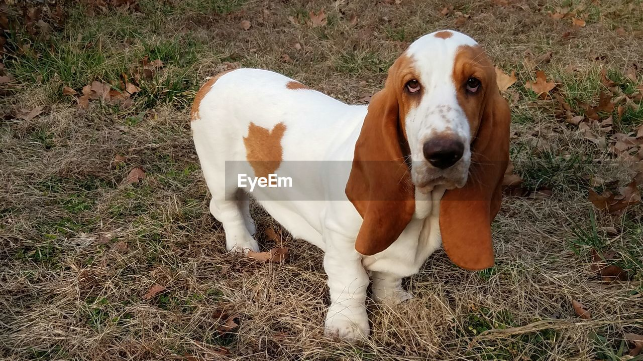 Portrait Of Basset Hound Standing On Field