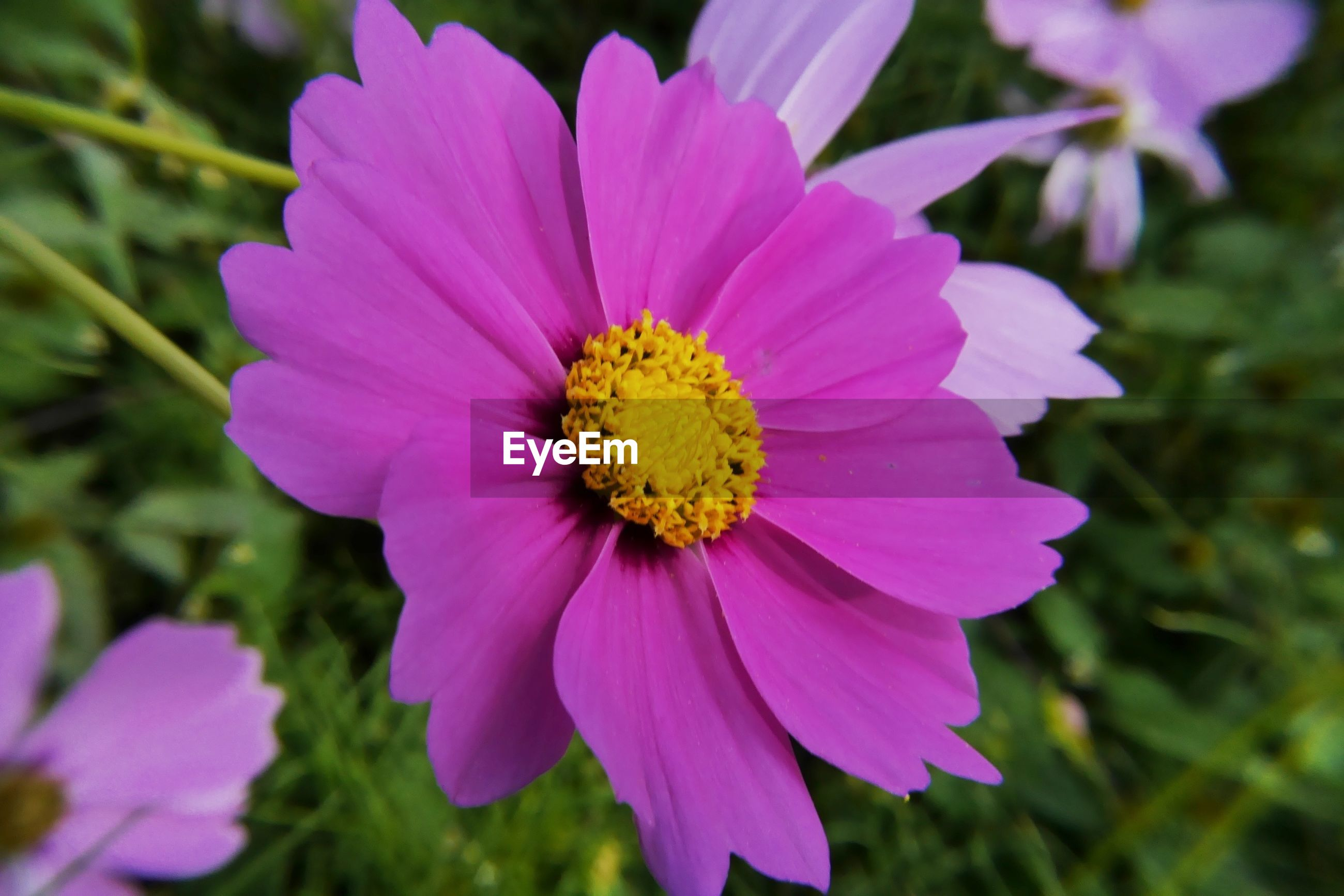 CLOSE-UP OF FRESH PINK DAISY FLOWER BLOOMING OUTDOORS