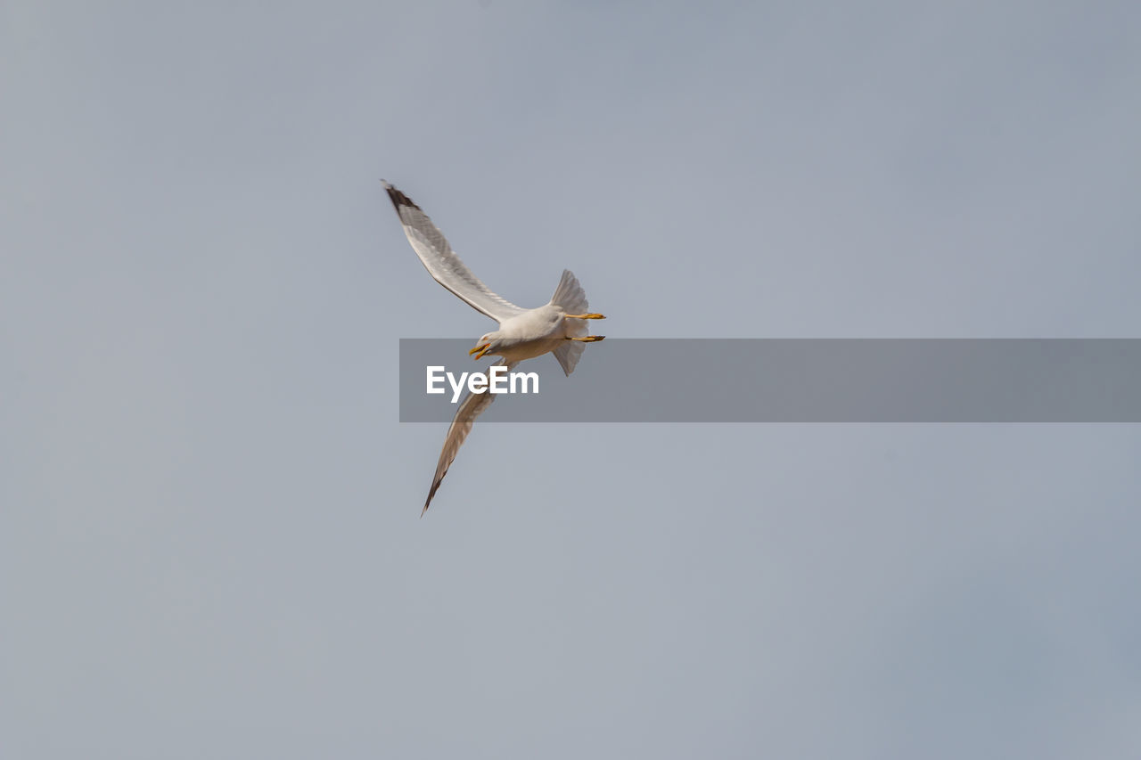 flying, animals in the wild, animal wildlife, spread wings, animal themes, animal, vertebrate, mid-air, low angle view, bird, one animal, sky, copy space, clear sky, no people, nature, seagull, motion, day, outdoors