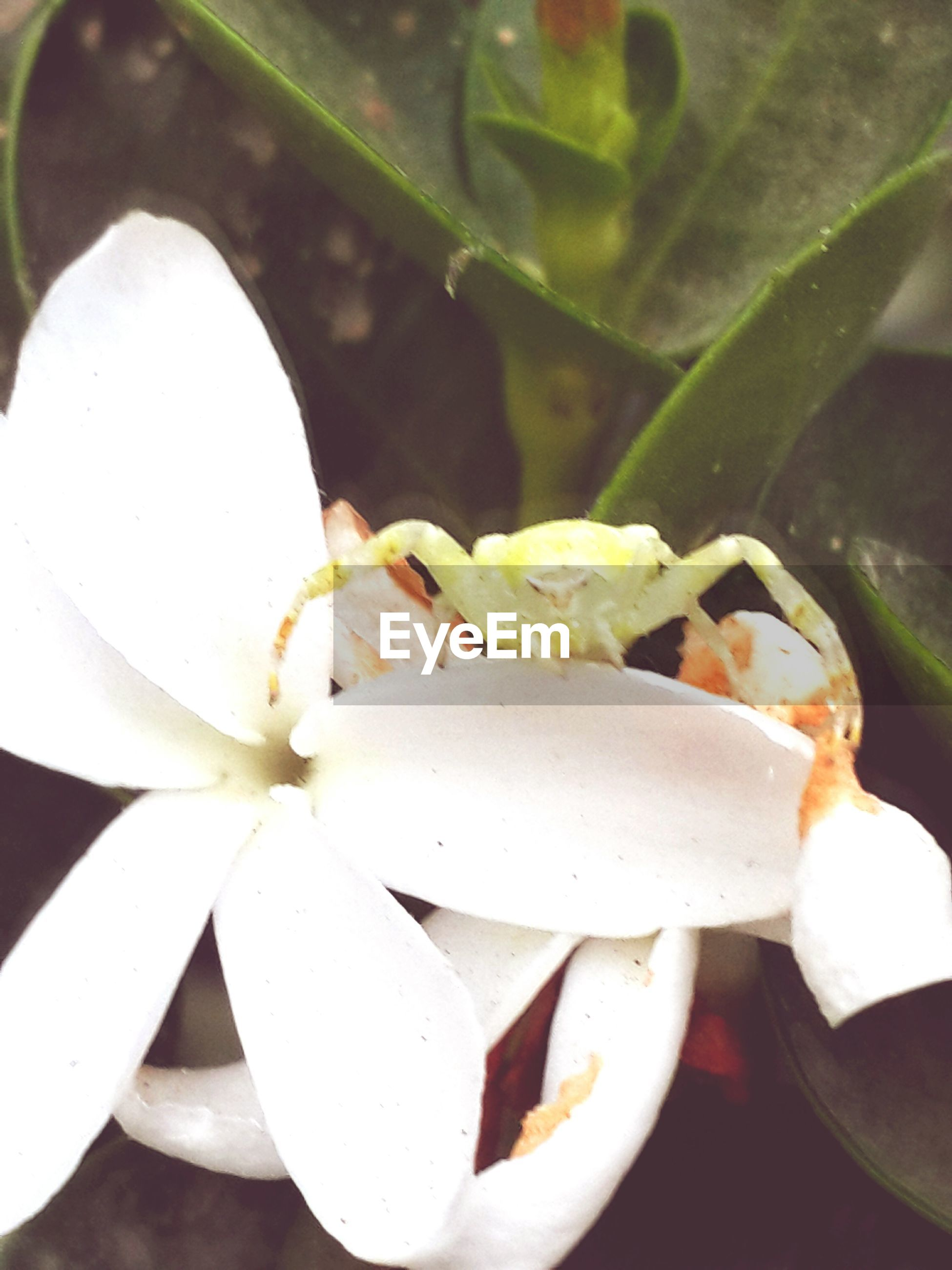 freshness, flower, close-up, growth, white color, petal, fragility, flower head, plant, nature, beauty in nature, focus on foreground, leaf, blooming, pollen, stamen, no people, white, bud, day
