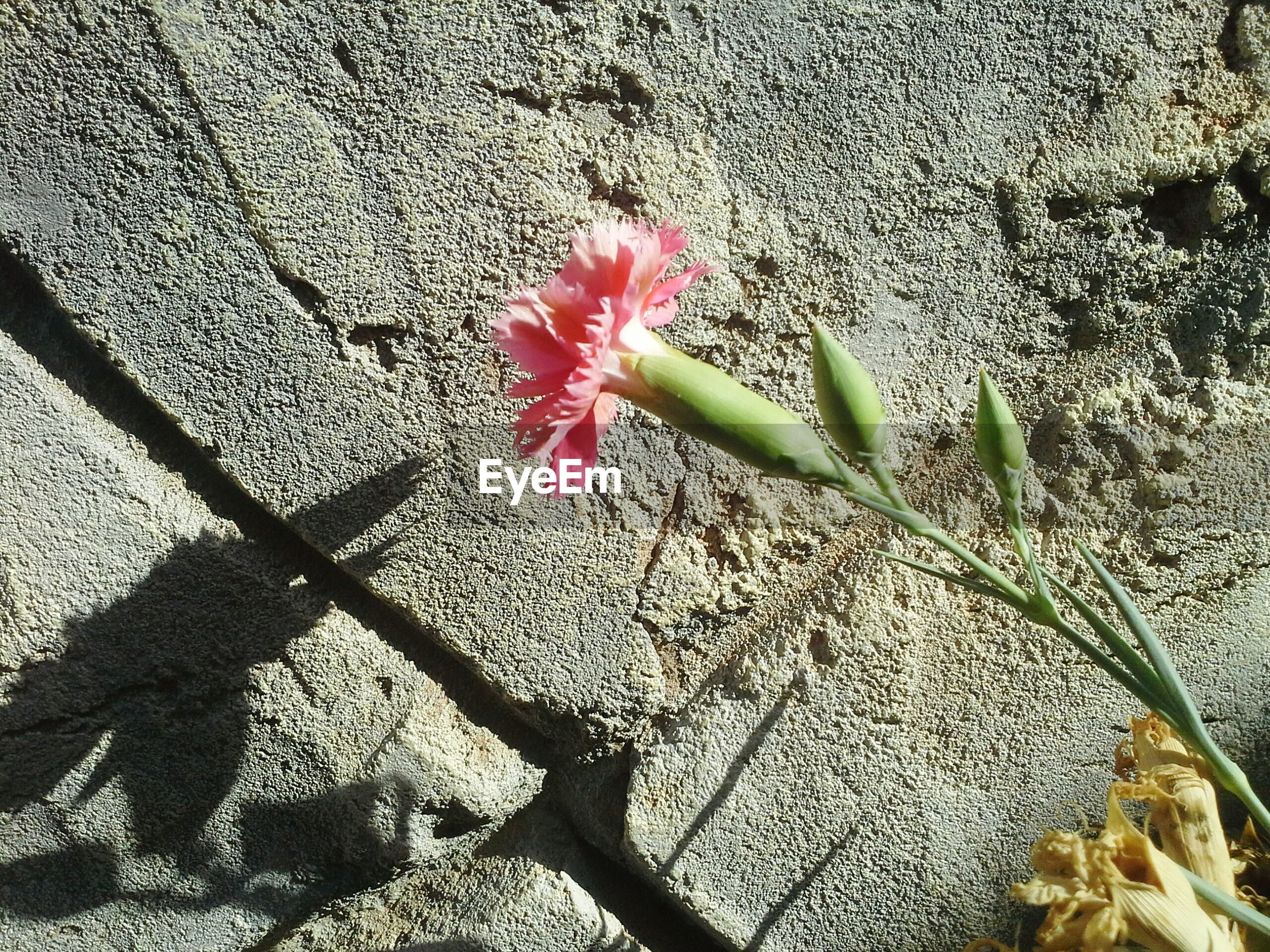 flower, petal, freshness, fragility, growth, flower head, plant, leaf, beauty in nature, nature, blooming, pink color, in bloom, sunlight, stem, day, close-up, outdoors, blossom, no people, botany, growing, pollen, ground, tranquility, softness