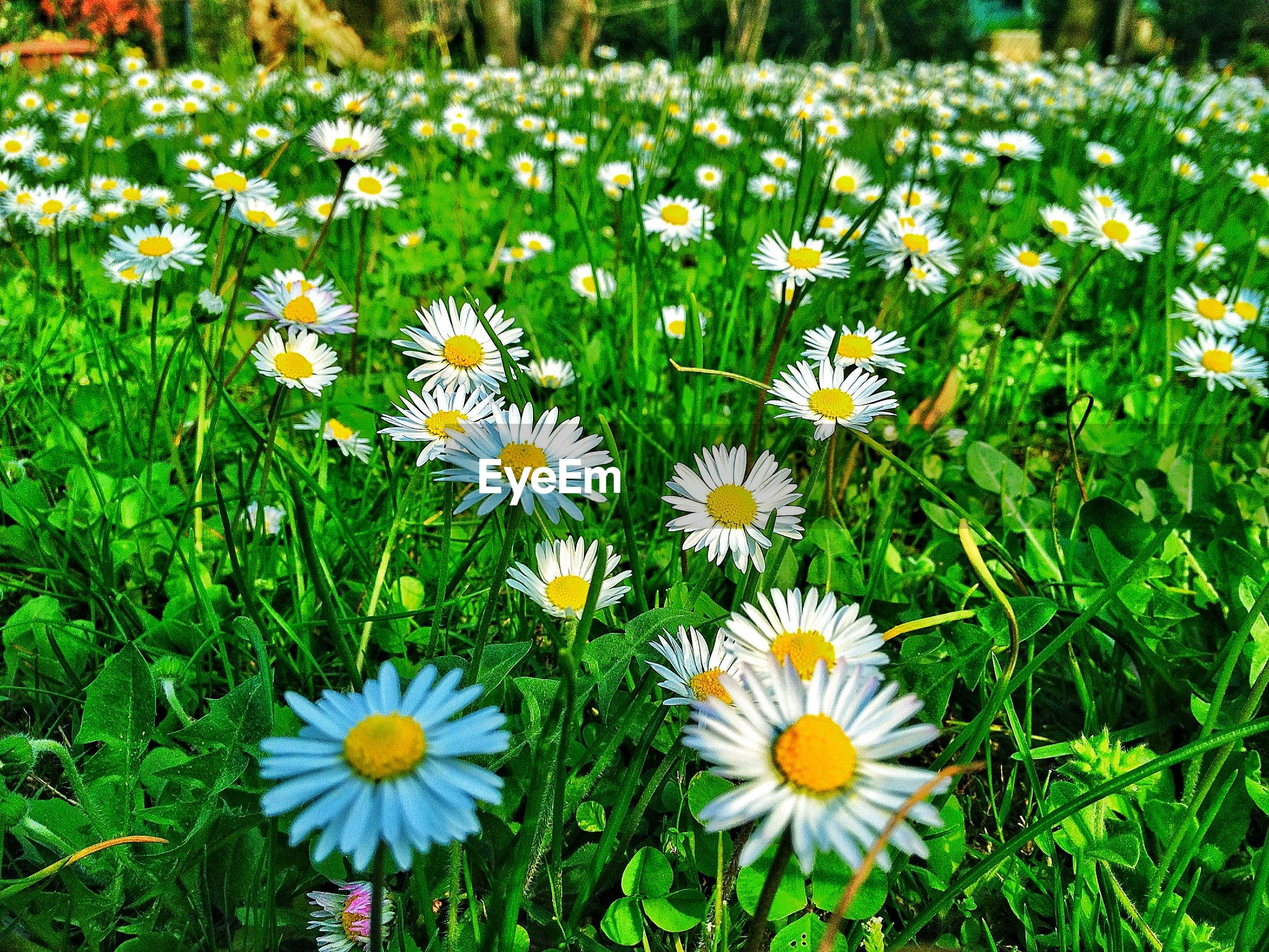 Close-up of daises blooming on field