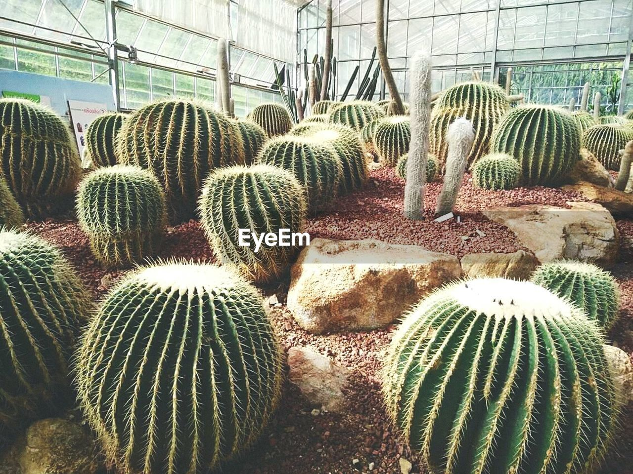 cactus, growth, plant, greenhouse, day, nature, no people, indoors, plant nursery