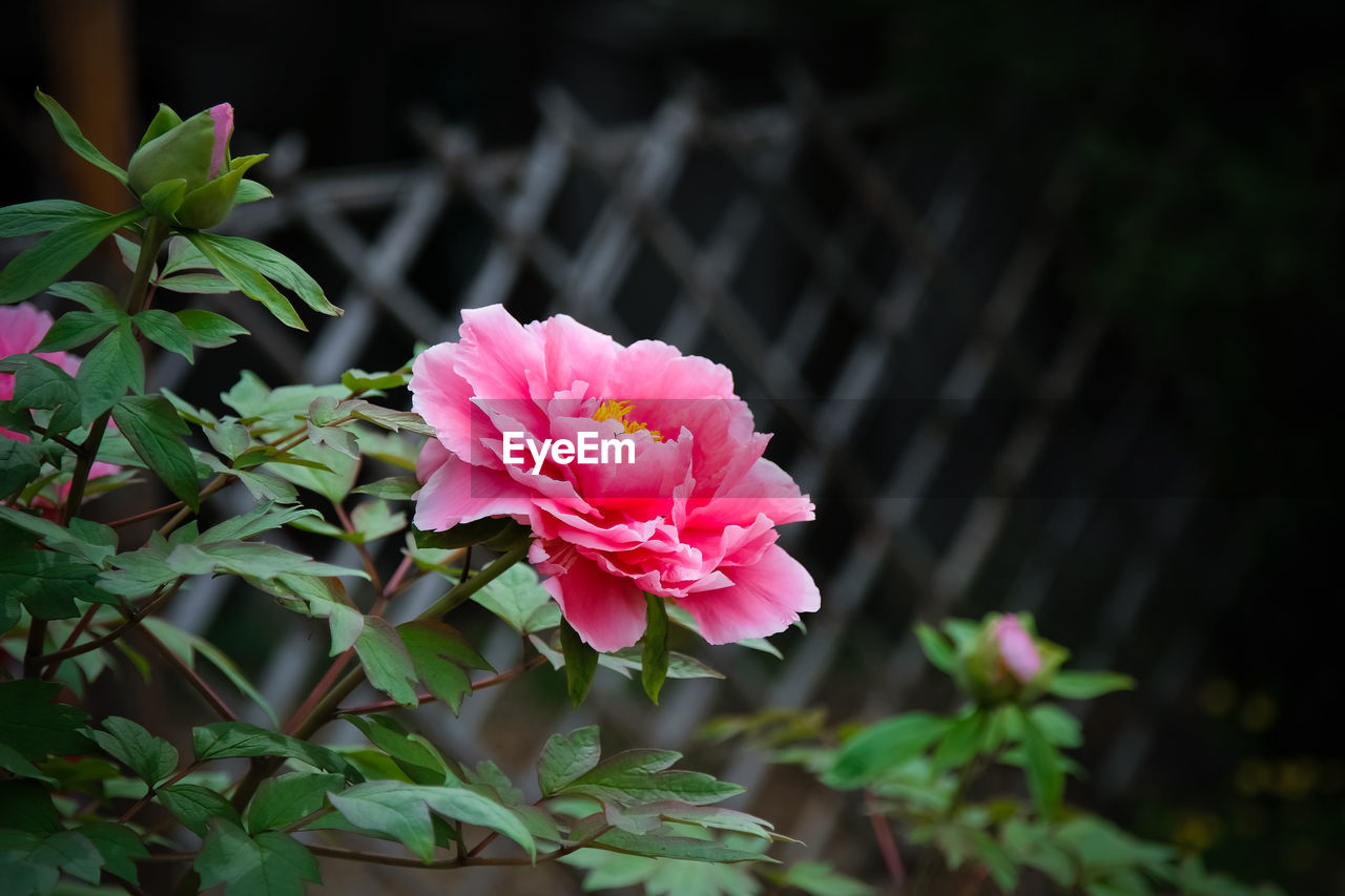 flowering plant, flower, plant, beauty in nature, vulnerability, fragility, petal, growth, freshness, pink color, plant part, leaf, inflorescence, flower head, close-up, nature, no people, day, focus on foreground, outdoors