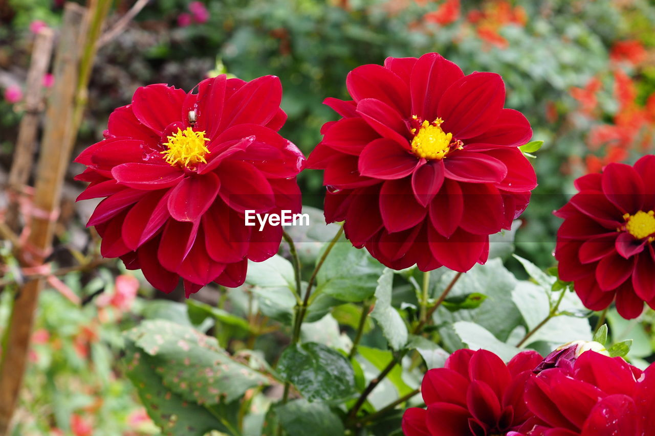 flowering plant, flower, freshness, vulnerability, plant, fragility, beauty in nature, petal, inflorescence, red, flower head, growth, close-up, focus on foreground, nature, no people, day, outdoors, park, dahlia, pollen