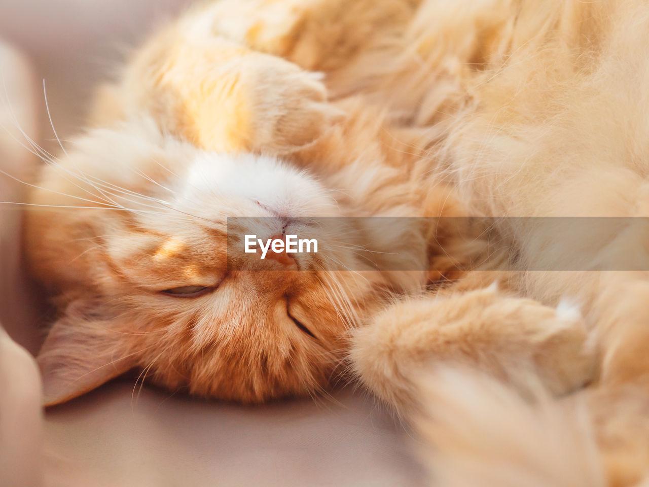 CLOSE-UP OF SLEEPING CAT