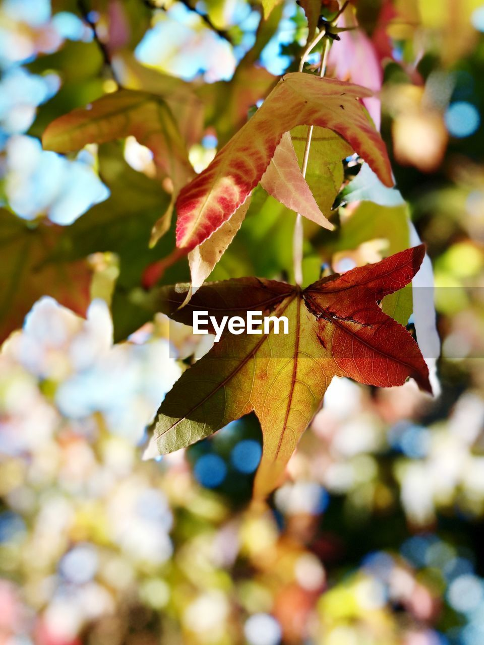 leaf, plant part, focus on foreground, plant, change, tree, autumn, close-up, day, no people, beauty in nature, growth, nature, outdoors, branch, selective focus, leaves, fragility, sunlight, leaf vein, maple leaf, natural condition