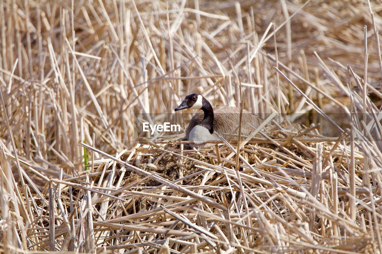 VIEW OF BIRD IN NEST ON FIELD