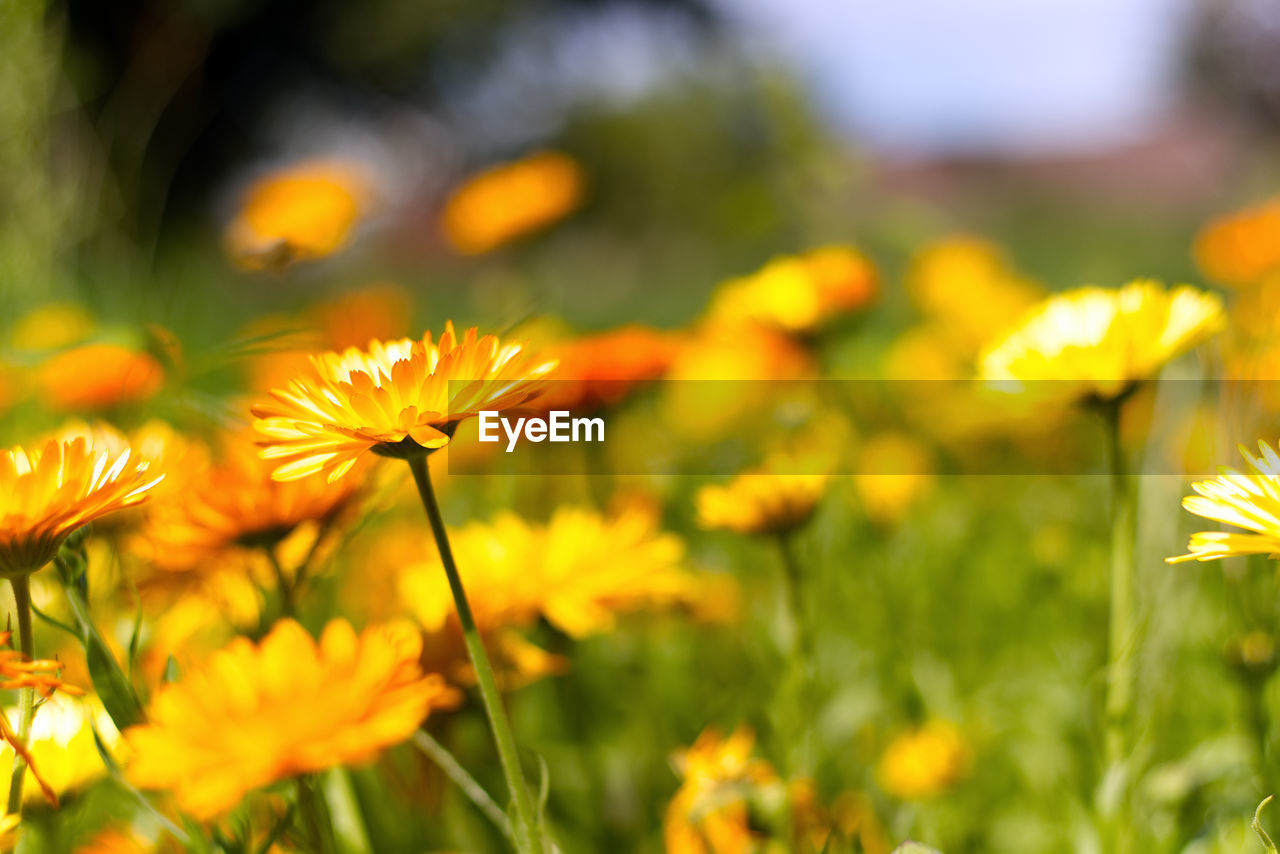flower, nature, growth, yellow, beauty in nature, fragility, plant, petal, freshness, flower head, blossom, selective focus, blooming, field, no people, outdoors, springtime, close-up, cosmos flower, day
