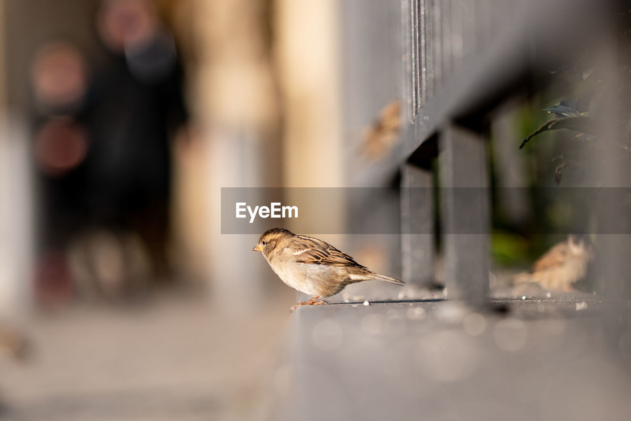 selective focus, animal themes, animal, bird, vertebrate, animal wildlife, animals in the wild, day, one animal, perching, sparrow, close-up, no people, outdoors, focus on foreground, nature, metal, sunlight, side view, table