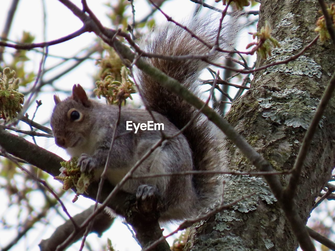 tree, branch, animal themes, animal, animal wildlife, one animal, mammal, plant, animals in the wild, low angle view, rodent, squirrel, vertebrate, no people, day, nature, focus on foreground, outdoors, close-up, tree trunk, whisker