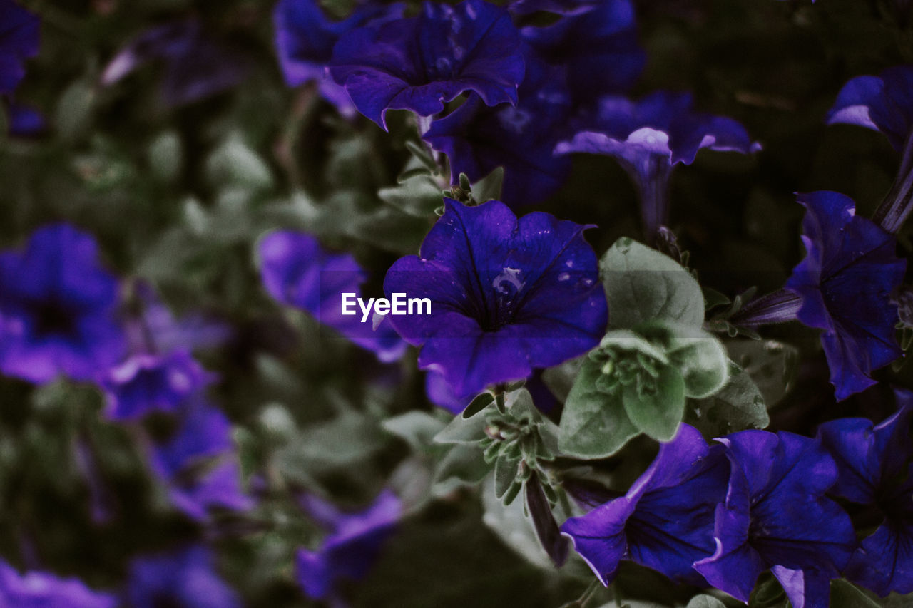 purple, beauty in nature, petal, flower, nature, fragility, growth, freshness, no people, plant, flower head, day, outdoors, close-up, blue, blooming