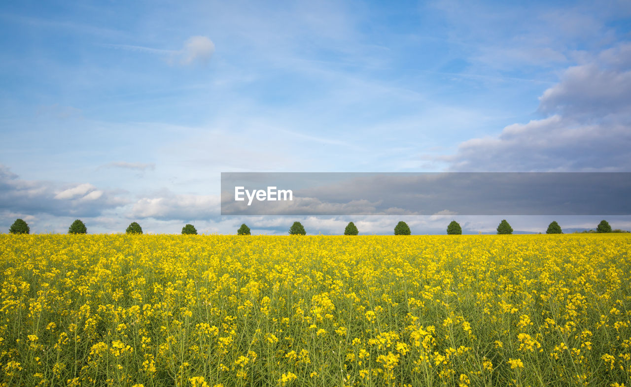 Scenic view of yellow mustard field against sky