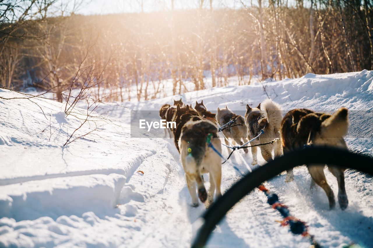 Dogs Pulling Sled On Snow Covered Landscape During Winter