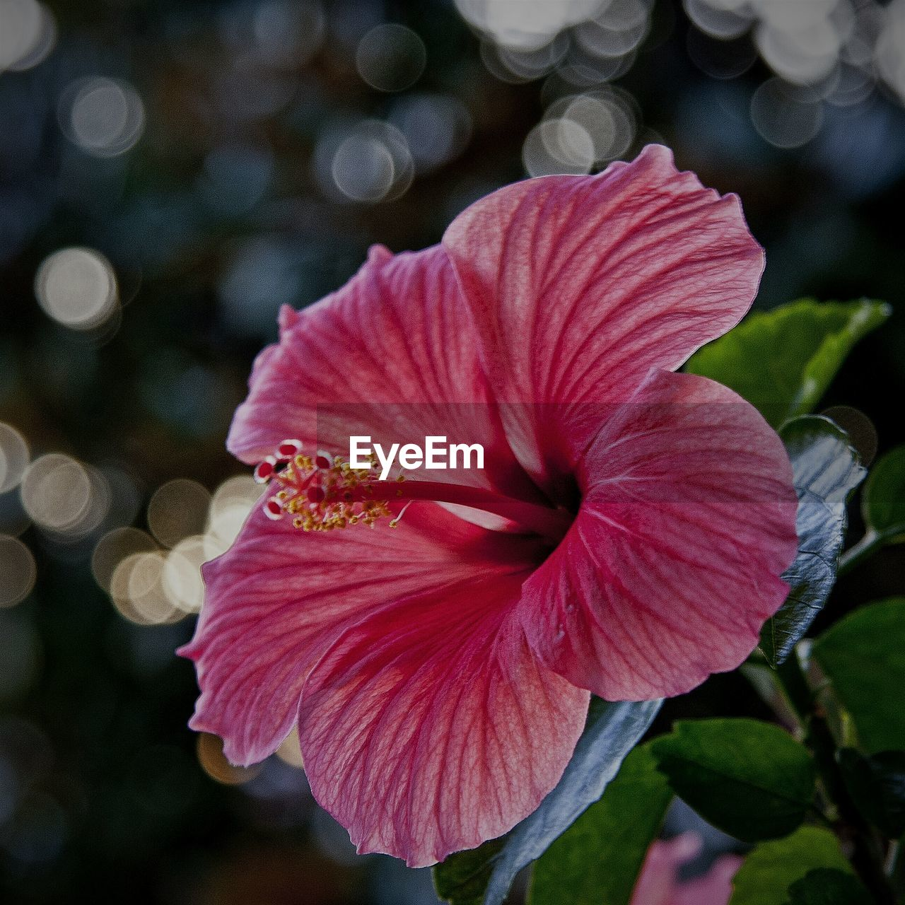 flower, petal, fragility, flower head, beauty in nature, freshness, focus on foreground, hibiscus, growth, outdoors, nature, day, close-up, pink color, blooming, no people, petunia