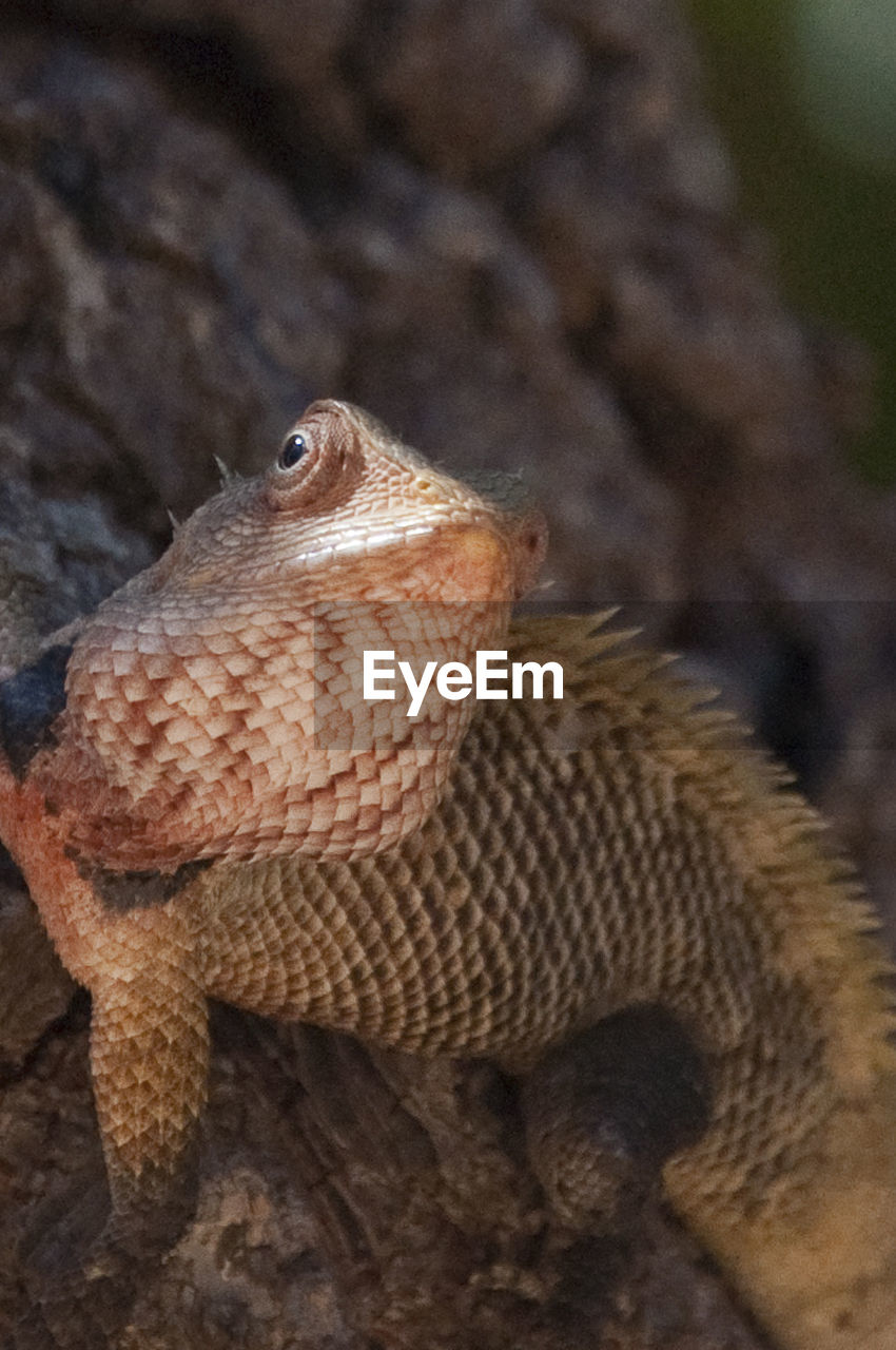 one animal, reptile, animals in the wild, animal themes, animal wildlife, bearded dragon, lizard, close-up, no people, day, outdoors, focus on foreground, nature