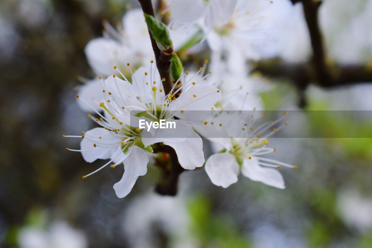 white color, flower, nature, beauty in nature, growth, fragility, blossom, apple blossom, springtime, tree, freshness, no people, branch, day, outdoors, close-up, flower head
