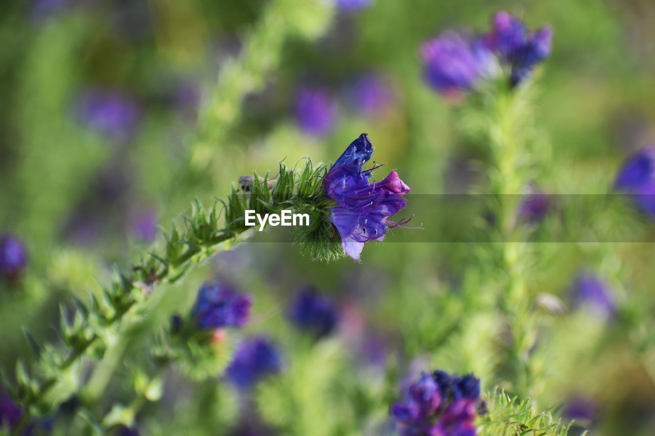 flowering plant, flower, plant, beauty in nature, purple, freshness, growth, vulnerability, fragility, close-up, petal, flower head, inflorescence, nature, selective focus, day, no people, green color, lavender, focus on foreground, outdoors, pollination