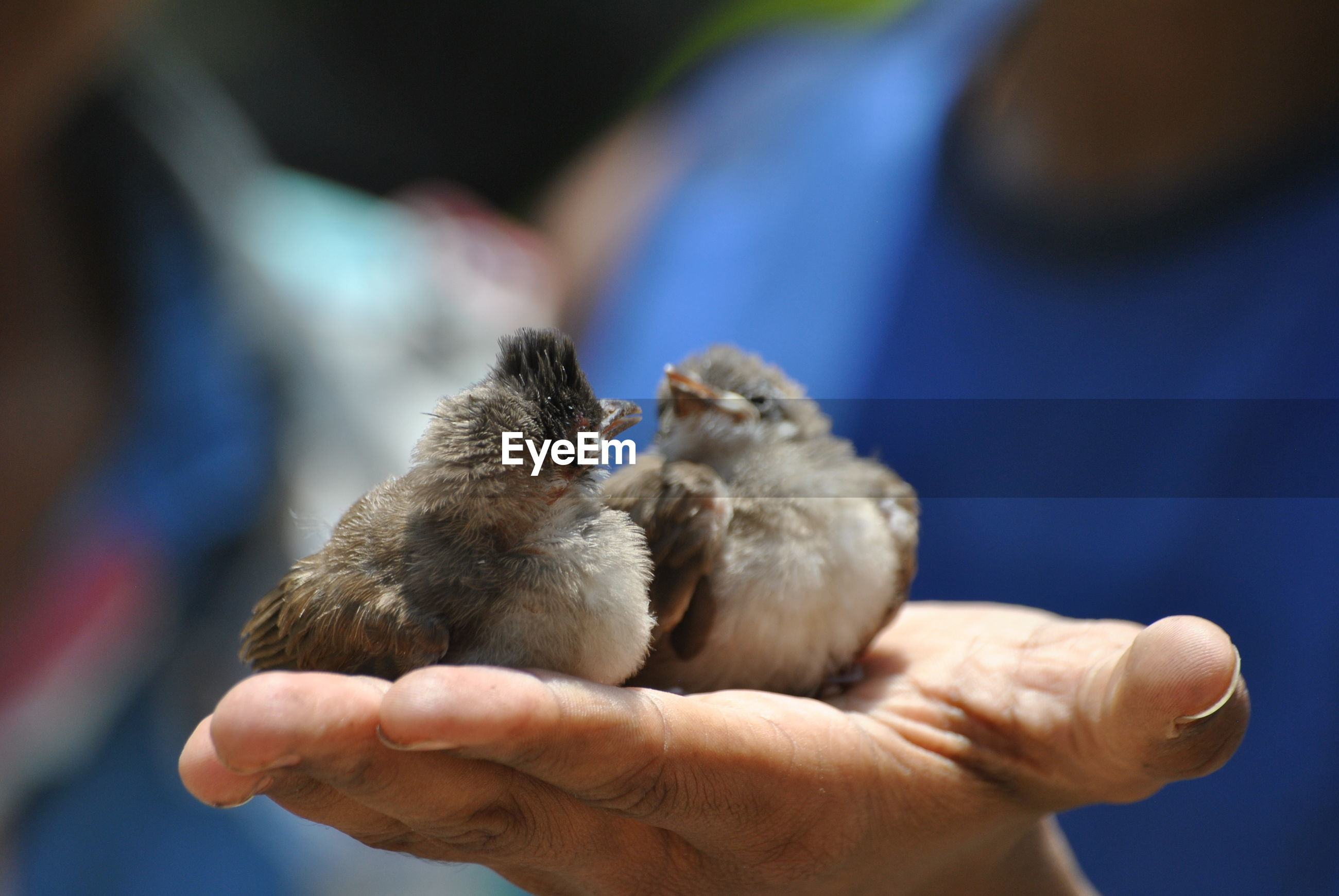 Close-up of hand holding birds