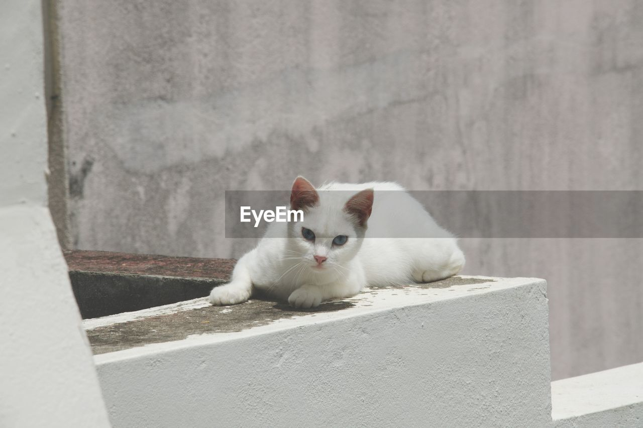 Portrait Of White Cat On Retaining Wall