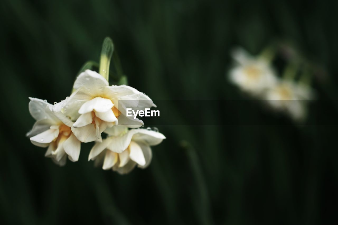 flower, petal, white color, nature, beauty in nature, fragility, freshness, flower head, growth, plant, close-up, no people, focus on foreground, day, blooming, outdoors