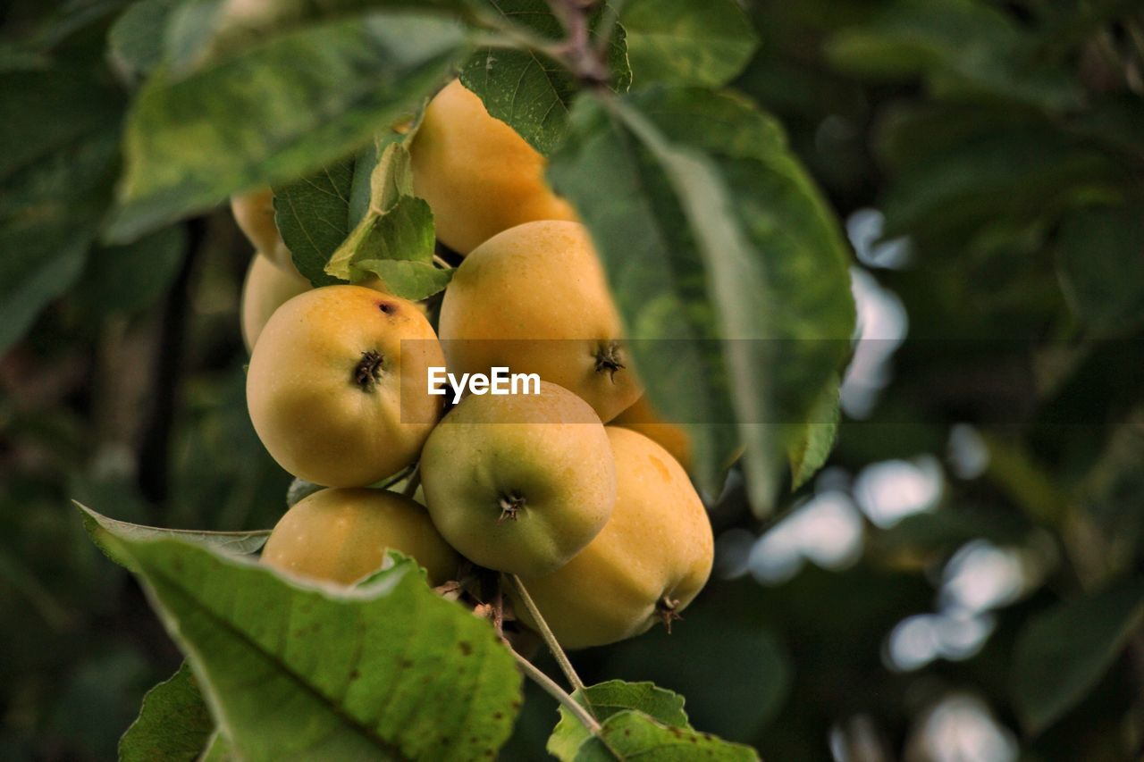 Fruits growing on tree