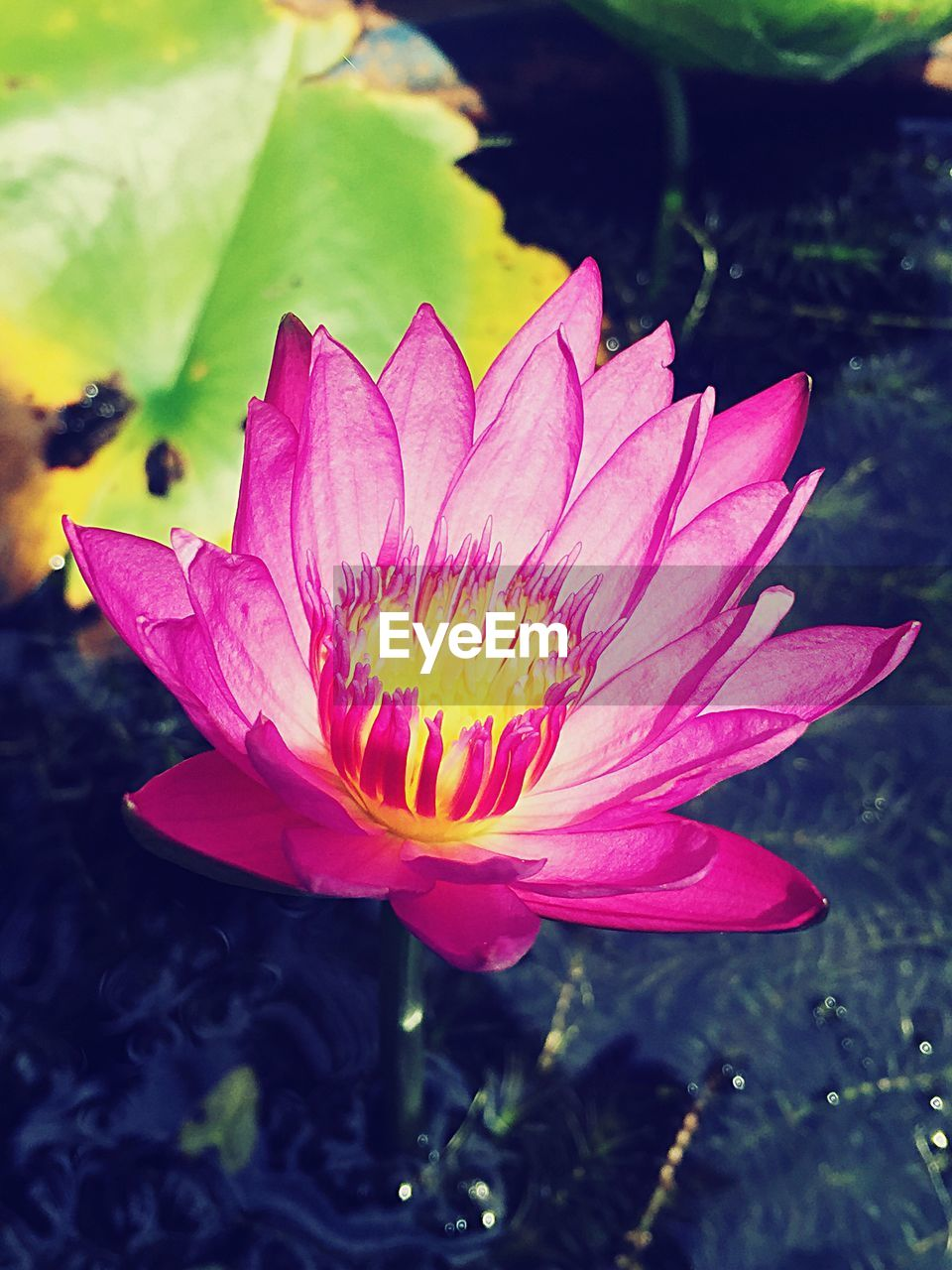 flower, petal, fragility, flower head, beauty in nature, nature, growth, freshness, close-up, pink color, plant, day, leaf, water, outdoors, no people, blooming, lotus water lily