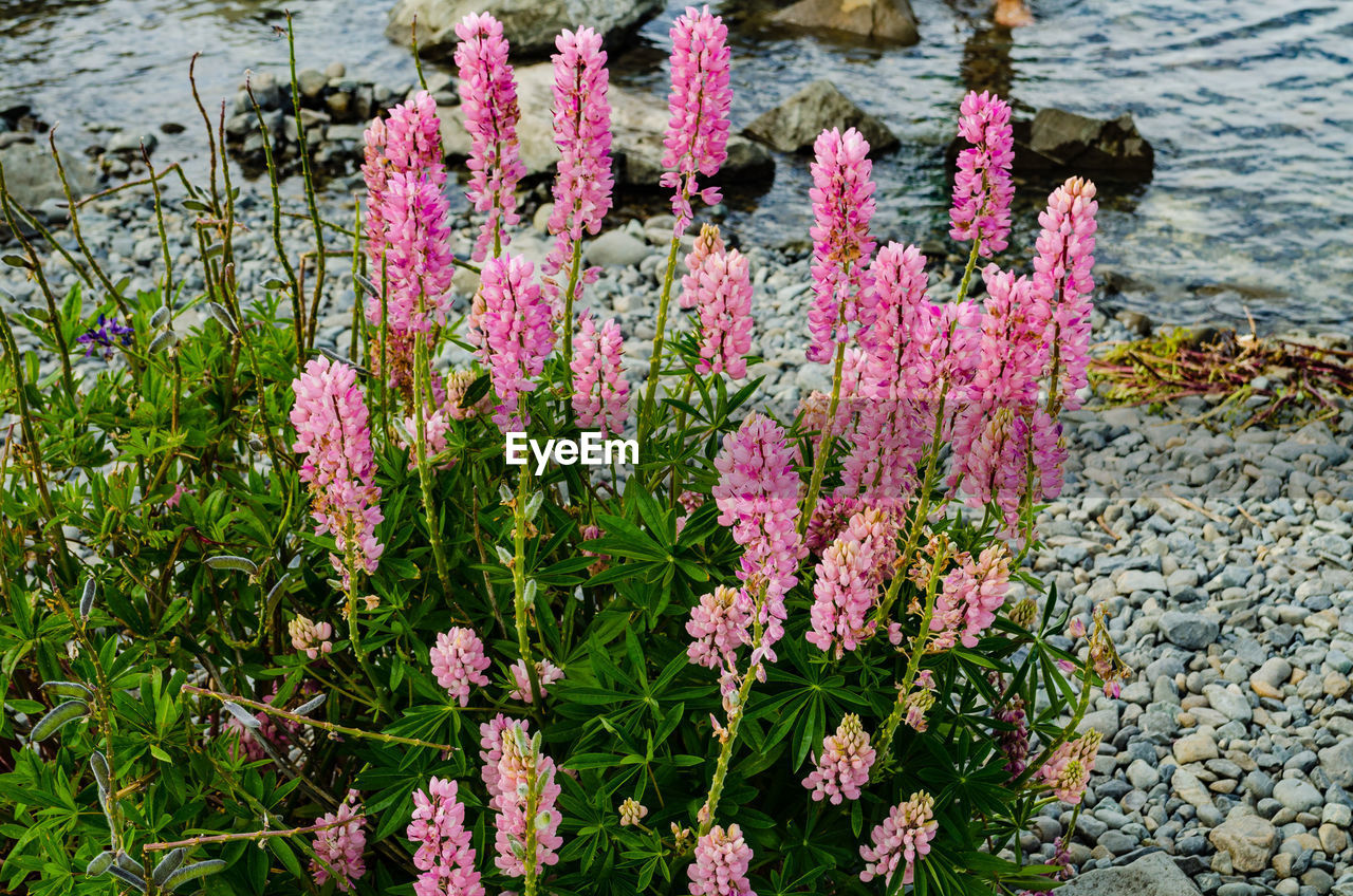 flowering plant, flower, plant, pink color, beauty in nature, water, freshness, growth, nature, vulnerability, fragility, day, no people, lake, close-up, outdoors, leaf, inflorescence, petal, purple, flower head